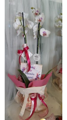 Orchid ''Mother's Day'' (F0096)